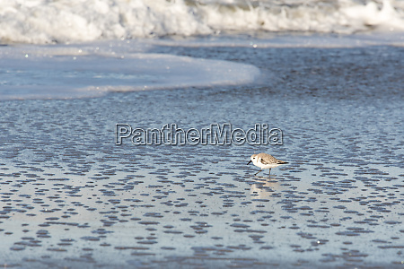usa california oxnard sanderling searches for