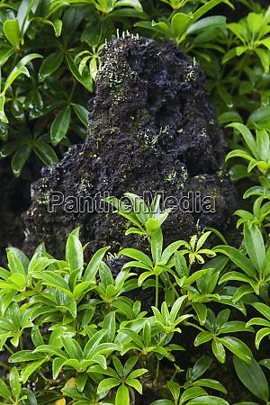 usa hawaii big island bonsai schefflera