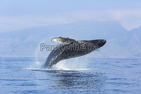 humpback whales megaptera novaeangliae near lanai