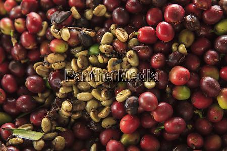 kona coffee beans coffee plantation big