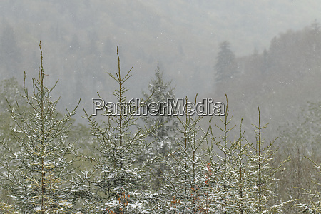 evergreen trees at elevation with light