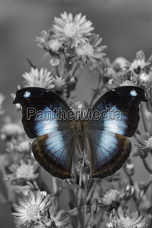 tropical butterfly napeocles jucunda the great