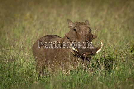 common warthog stands watching camera in