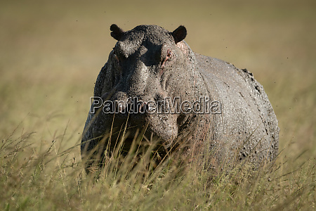hippo stands in tall grass watching