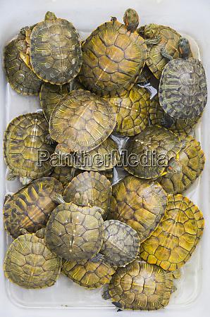 vietnam hanoi souvenir pet turtles