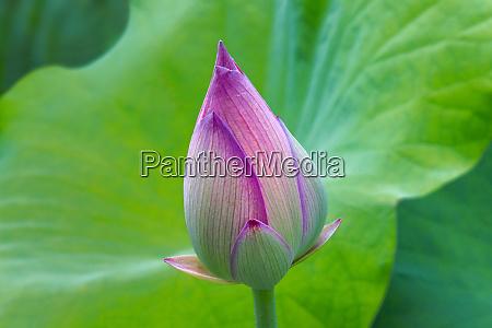 lotus bud fujian province china