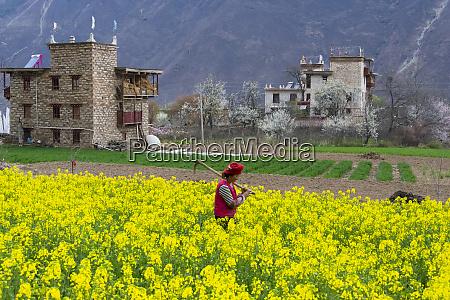 tibetan woman in canola find in