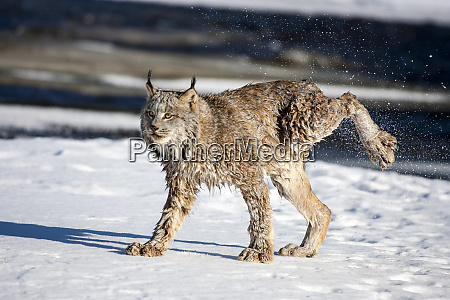 usa minnesota sandstone lynx shaking off