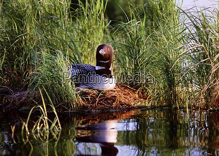usa minnesota common loon nest leech