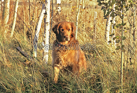 usa oregon bend a camouflaged golden