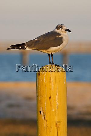 laughing gull larus atricilla resting on
