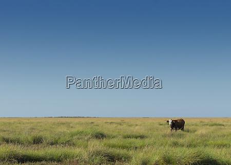 cow along the rural texas coastline