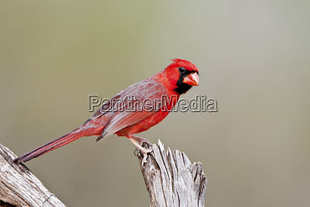 northern cardinal cardinalis cardinalis male starr