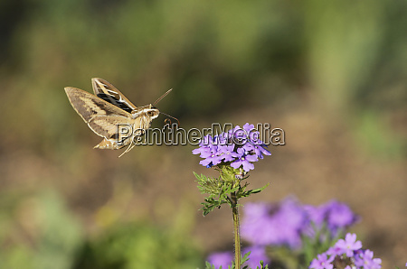 white lined sphinx hyles lineata adult