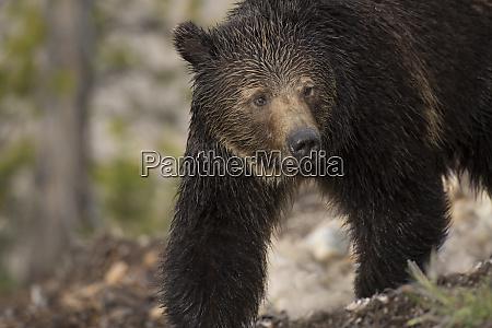 usa wyoming yellowstone national park close