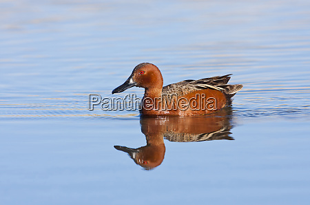 wyoming sublette county cinnamon teal male