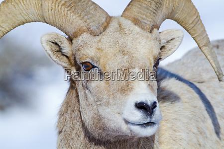 wyoming national elk refuge bighorn sheep