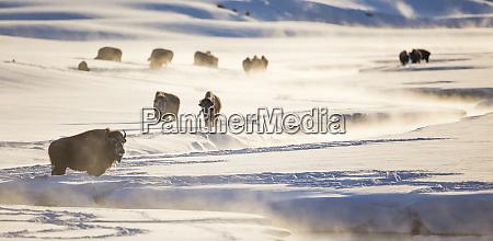 wyoming yellowstone national park bison herd