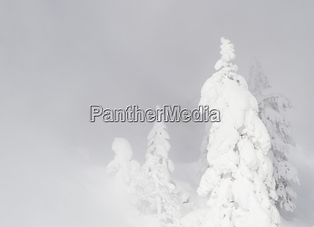 wyoming yellowstone national park frosted lodgepole