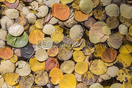 usa wyoming sublette county autumn aspen
