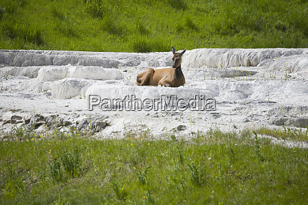 wy yellowstone national park female elk