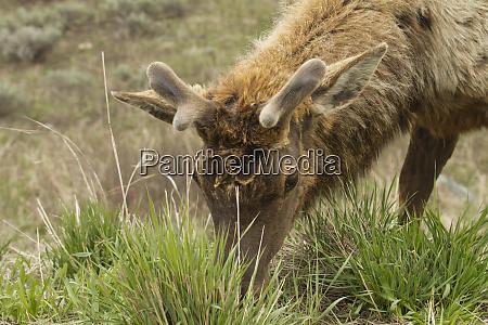 yellowstone national park wyoming usa close