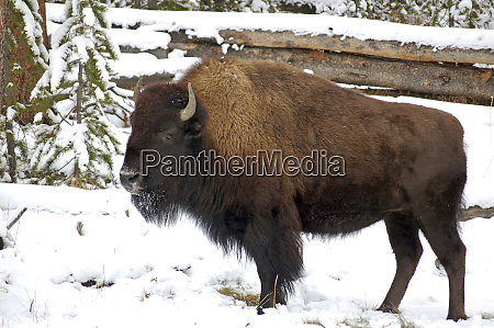 wyoming bison in yellowstone national park