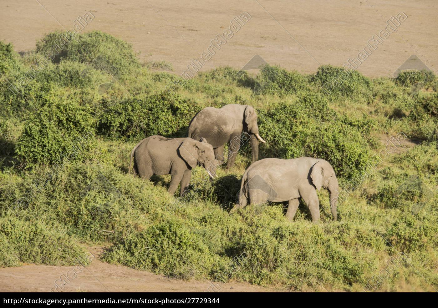 afryka, wschodnia, kenia, park, narodowy, amboseli, słoń, (loxodanta, africana) - 27729344
