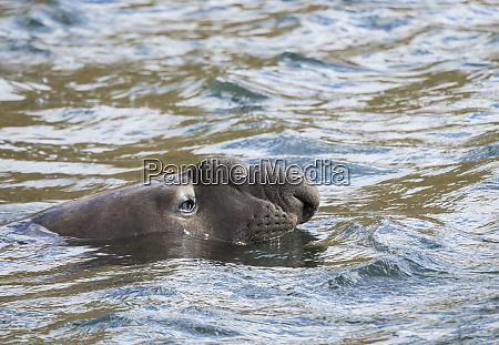 southern elephant seal mirounga leonina bull