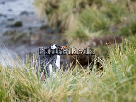 gentoo penguin pygoscelis papua in tussock