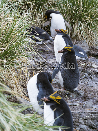 pingwin, macaroni, (eudyptes, chrysolophus), stoi, w - 27732484