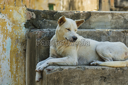 myanmar mandalay mingun local dog rests