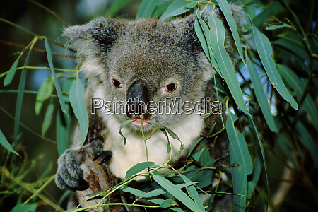 australia queensland rockhampton captive koala phascolarctos