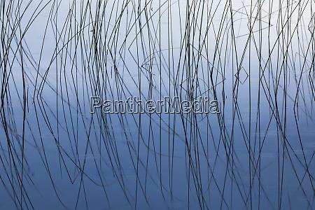 reeds and reflection thornton lake hiawatha