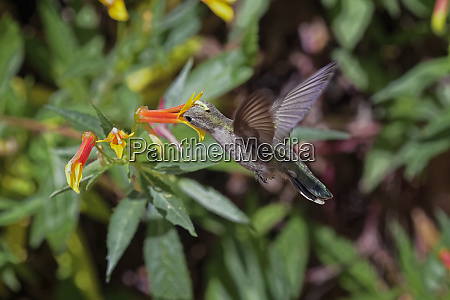 female annas hummingbird flying pollinating flower
