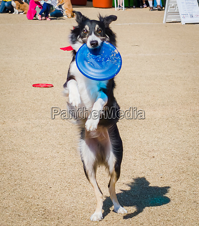 usa arizona buckeye dog catching a