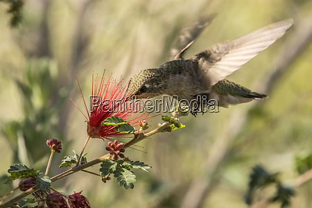 usa arizona desert botanic garden hummingbird