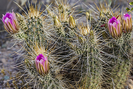 strawberry hedgehog cactus flowering at organ
