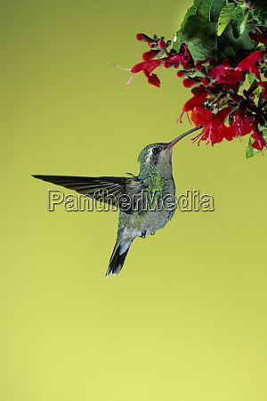 broad billed hummingbird cynanthus latirostris female