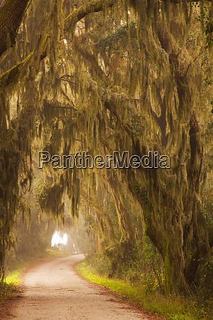 usa georgia moss draped trees along