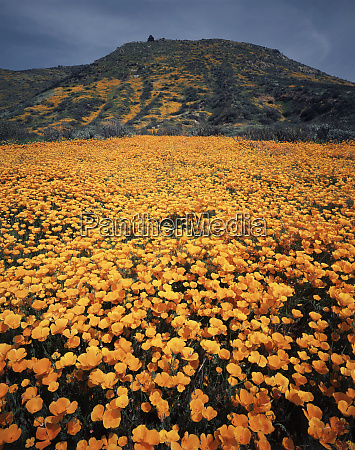 usa california lake elsinore california poppy