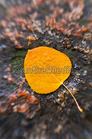 fall aspen leaf detail inyo national
