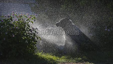 herding, psy, w, grze, w, wodzie - 27859216