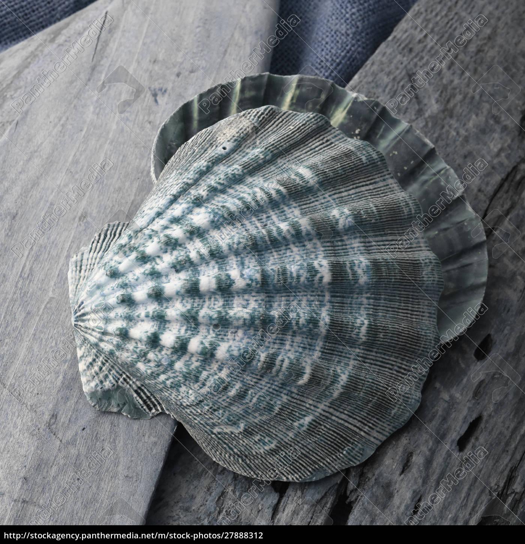 natutical, shell, martwa, natura. - 27888312