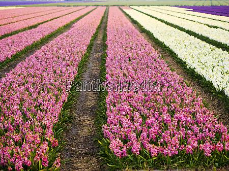 holandia wiosenne pola kwiatowe
