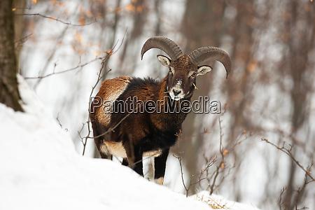 widok z przodu dzikiego samca moflonu