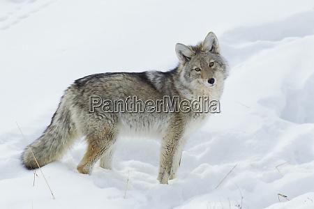 kojot szuka