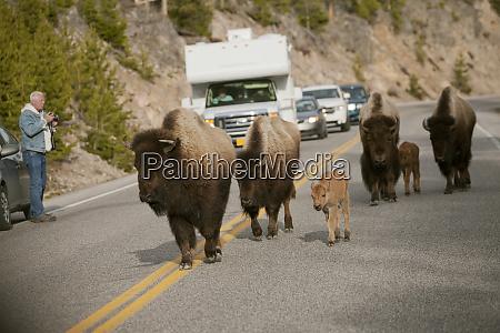 park, narodowy, yellowstone, wyoming, stany, zjednoczone., Żubr, idący - 27987549