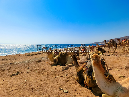 camels on the beach yellow sand