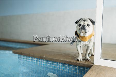 pug, dog, wearing, life, jacket, by - 28747717